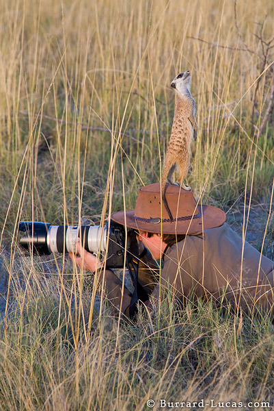 Meerkat on Photographer